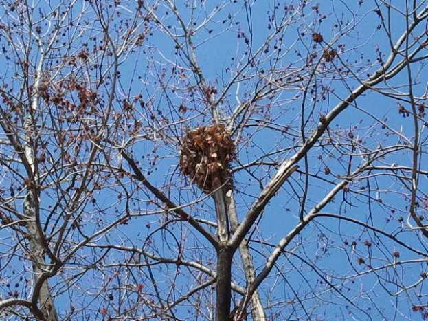 Soon this nest will be hidden behind the green leaves again.