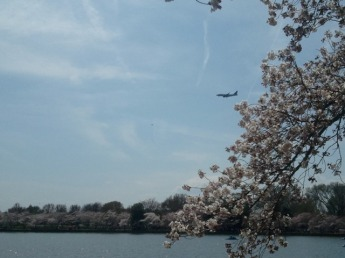 It took about 10,000 tries, but I finally was able to catch a plane emerging from the blossoms.