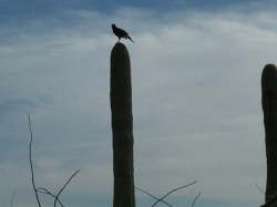 Hawk perched high on an armless saguaro