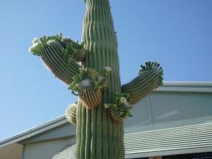 Saguaro Gone Wild