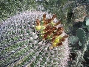 Barrel Cactus after flowering