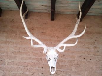 Animal skull with huge horns