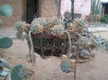 Hanging basket with cool cactus dripping out of it
