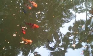 Koi in a hidden pond